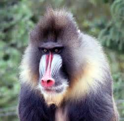 Mandrill Free Stock Photo - Public Domain Pictures