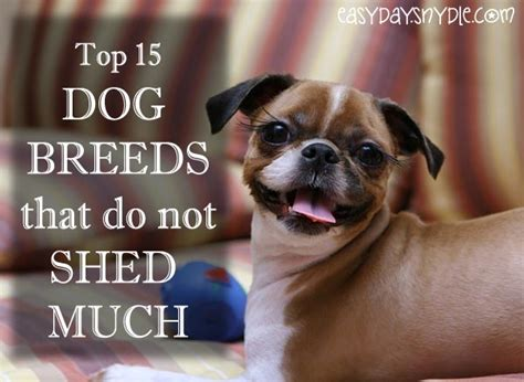 which dogs do not shed hair top 15 breeds that do not shed much easyday
