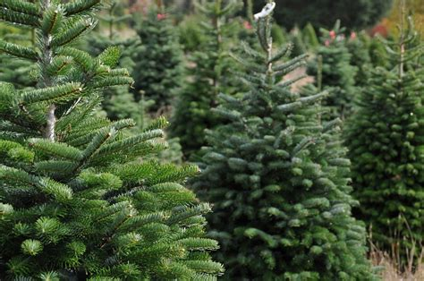 best care for real christmas tree choosing a real tree and tree care david domoney
