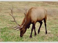 National Animal Of Sweden Elk 123Countriescom