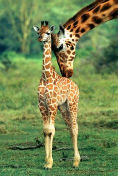 girafe cuisine 1000 citations de girafe sur girafes