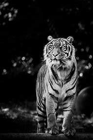 Black Tiger Animal