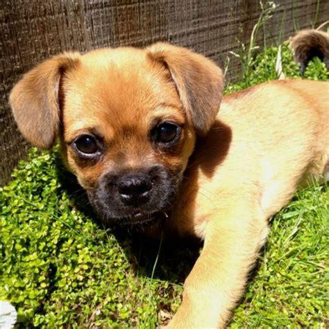 adorable pug cross breeds love ambie