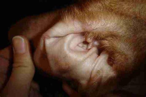 infection oreille chien traitement maison infection oreille chien traitement maison 28 images gale auriculaire chez le chat conseils v