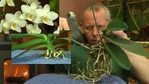Orchideen Umtopfen Video : phalaenopsis wurzelschnitt der orchidee youtube ~ Watch28wear.com Haus und Dekorationen