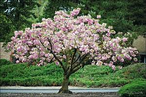 Home Depot Is Selling  39 Cherry Blossom Trees
