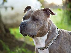 pitbull dog breed wallpapers
