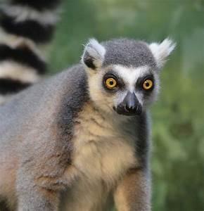 Ring-tailed Lemur - Explore Akron Zoo Lemur Exhibit  Animal