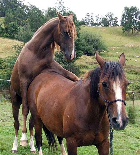 reproduction jument breeding natural accouplement cheval saillir horse sa experience faire chevaux animal femelle animaux animogen quickly fairly serving actual
