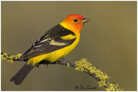 oregon western tanager 202