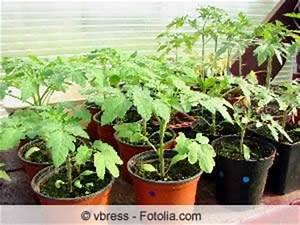 Tomaten Gelbe Blätter : gelbe bl tter bei tomaten ursachen und l sungen ~ Lizthompson.info Haus und Dekorationen