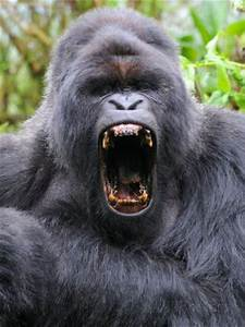Male Silverback Mountain Gorilla Yawning, Volcanoes ...