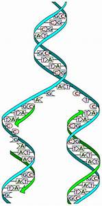 Dna Structure And Shape