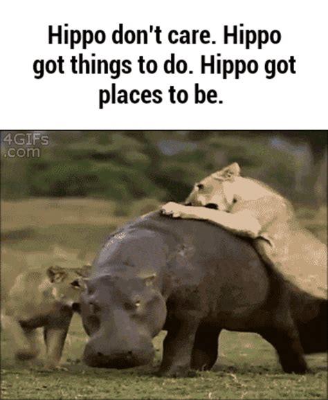 hippo dont care animals   meme