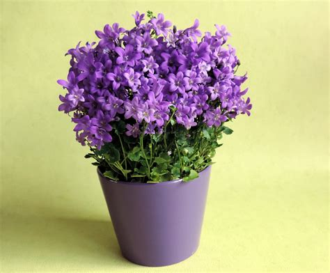 banco de imagens plantar flor roxa lavanda flores