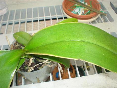 phalaenopsis orchid yellow leaves phalaenopsis leaves turning yellow fast