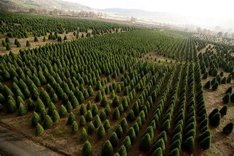 harvesting christmas trees slide show nytimes com