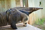 Baby Giant Anteater Rides Into Our Family - The Houston Zoo