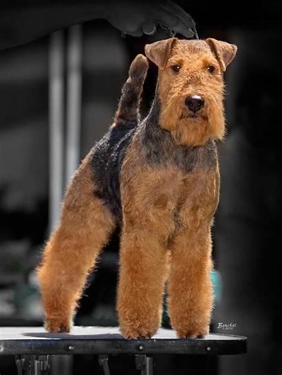 Welsh Terrier Dog Terriers Water Darwyn Joe