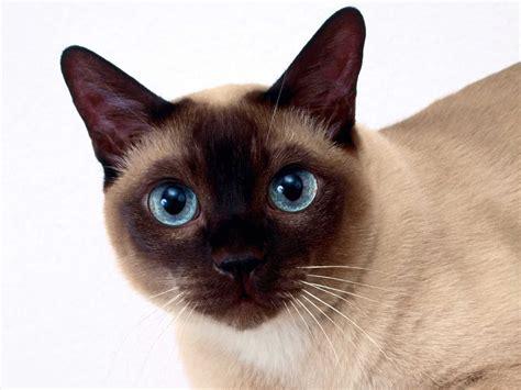gatos, inmunodeficiencia felina, esperanza de vida inmunodeficiencia felina
