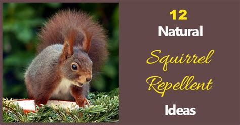 squirrel deterrent for gardens squirrel repellent ideas keep the critters out