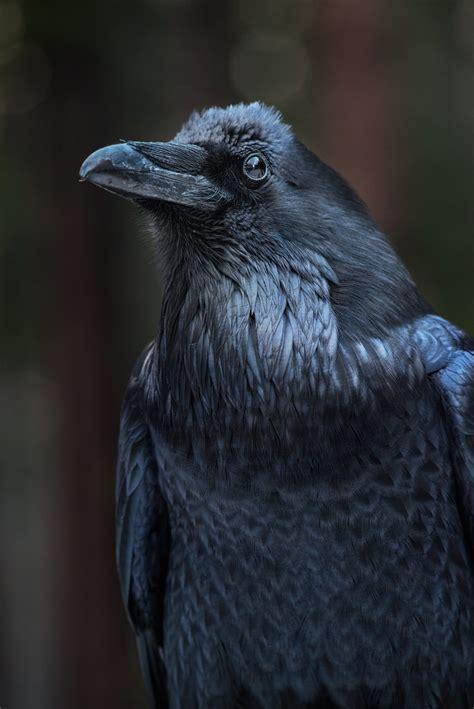 Common Raven Tumblr