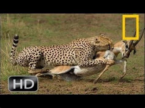 National Geographic Wild 2015 Cheetah Attack Deer Animal