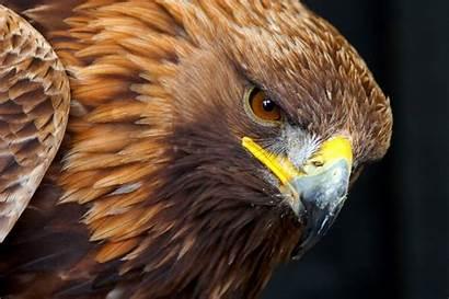 Eagle Golden Wallpapers Portrait Birds Eagles Wildlife
