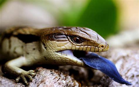 Blue Tongue Lizard Animal Hd Wallpaper Dreamlovewallpapers