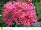 Image result for Free Eucalyptus Flowers