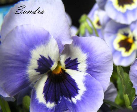 Love lives in the garden...: Atraitnītes (vijolītes) I
