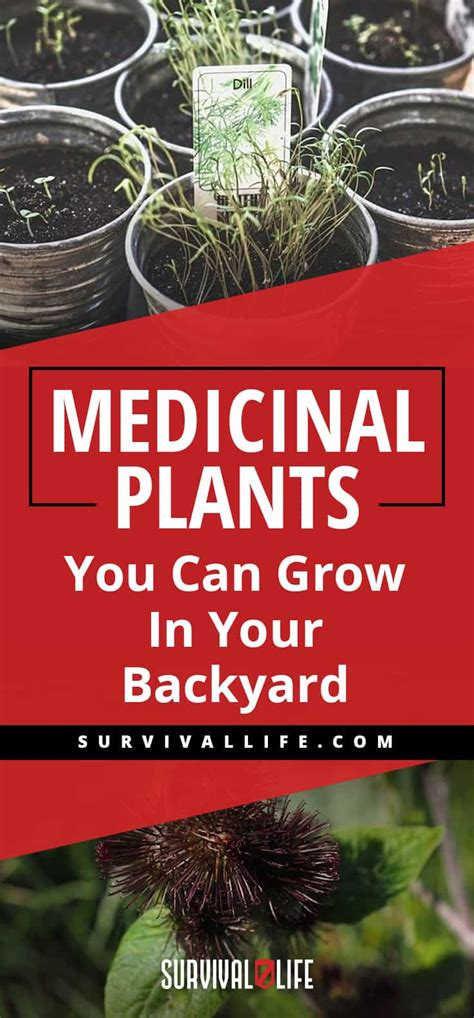 Can You A In Your Backyard by Medicinal Plants You Can Grow In Your Backyard Survival