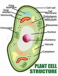Plant Cell Structure  Vector Illustration Helpful For