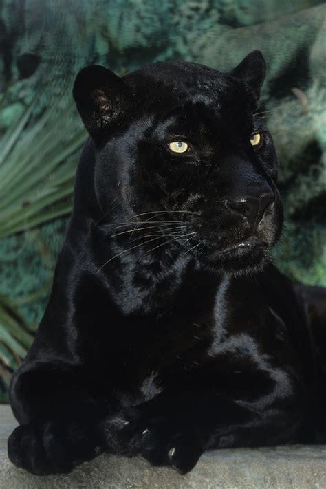 Black Jaguar by Orson San Diego Zoo S Black Jaguar Dies At Age 21 La Times