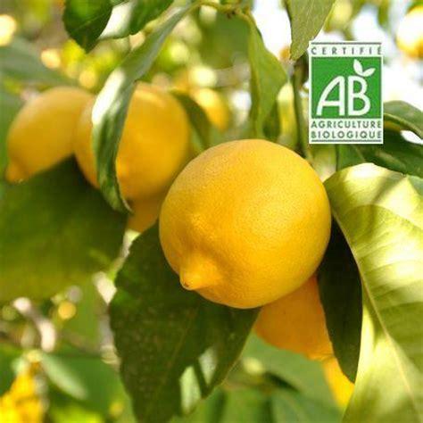 comment faire pousser un citronnier 224 partir de graines