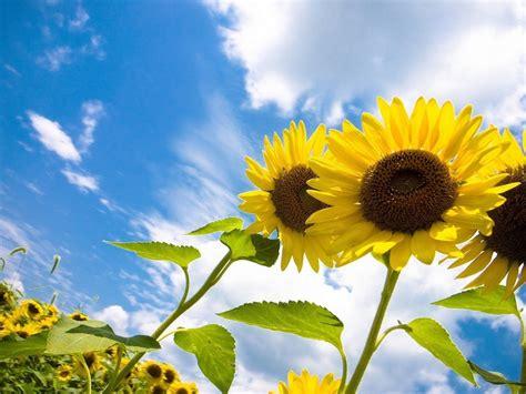 sunflower field wallpaper   wallpaperscom
