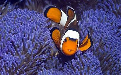 Fish Tropical Aquarium Clown Desktop Screensaver Backgrounds