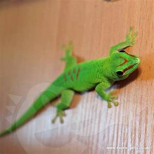 Madagascan Giant Day Gecko - Baby - Madagascan Giant Day Gecko