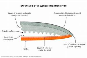 Mollusc Shell Structure  U2014 Science Learning Hub