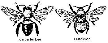 carpenter bees entomology