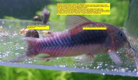 weissmaulkrankheit bei fischen details fotos und behandlung