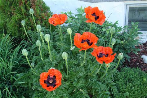 pics of poppy plants captive creativity oriental poppy plant care