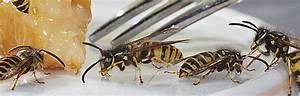 Was Tun Gegen Wespen Im Kirschlorbeer : wespennest an der dachrinne was tun ~ Lizthompson.info Haus und Dekorationen