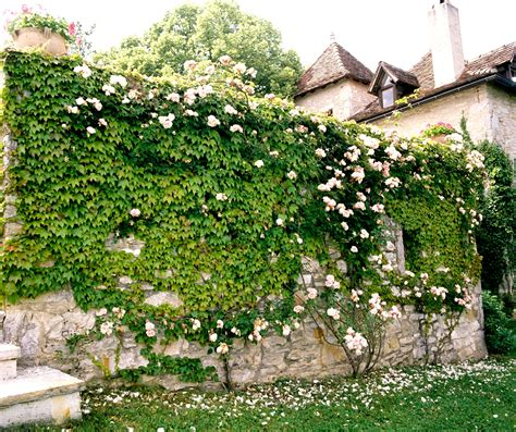 Tailler Une Treille De Raisin by Vigne Vierge Planter Et Tailler Ooreka