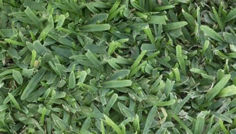 When To Seed And Fertilize Warm-season Lawns