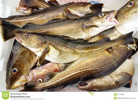 How To Fish For Cod From A Boat by Cod Fish Stock Photos Image 31125883