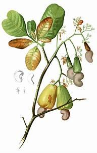 Anacardiaceae - Wikipedia