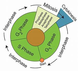 26 Cell Cycle Phases Diagram
