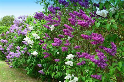 Flieder Pflanzen Schneiden Und Vermehren by Flieder Pflanzen Schneiden Und Vermehren Das Haus