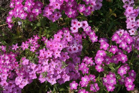 annual phlox native florida wildflowers roadside annual phlox phlox drummondii